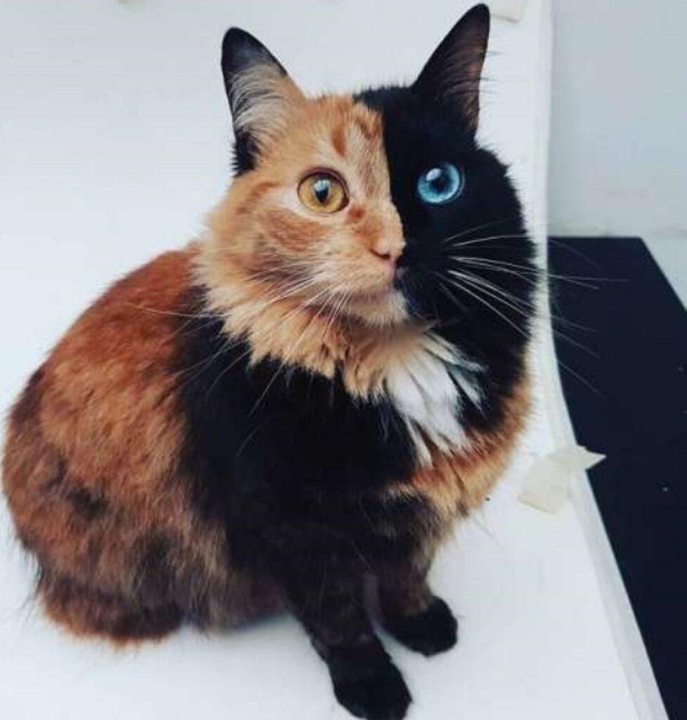 gatto doppio colore