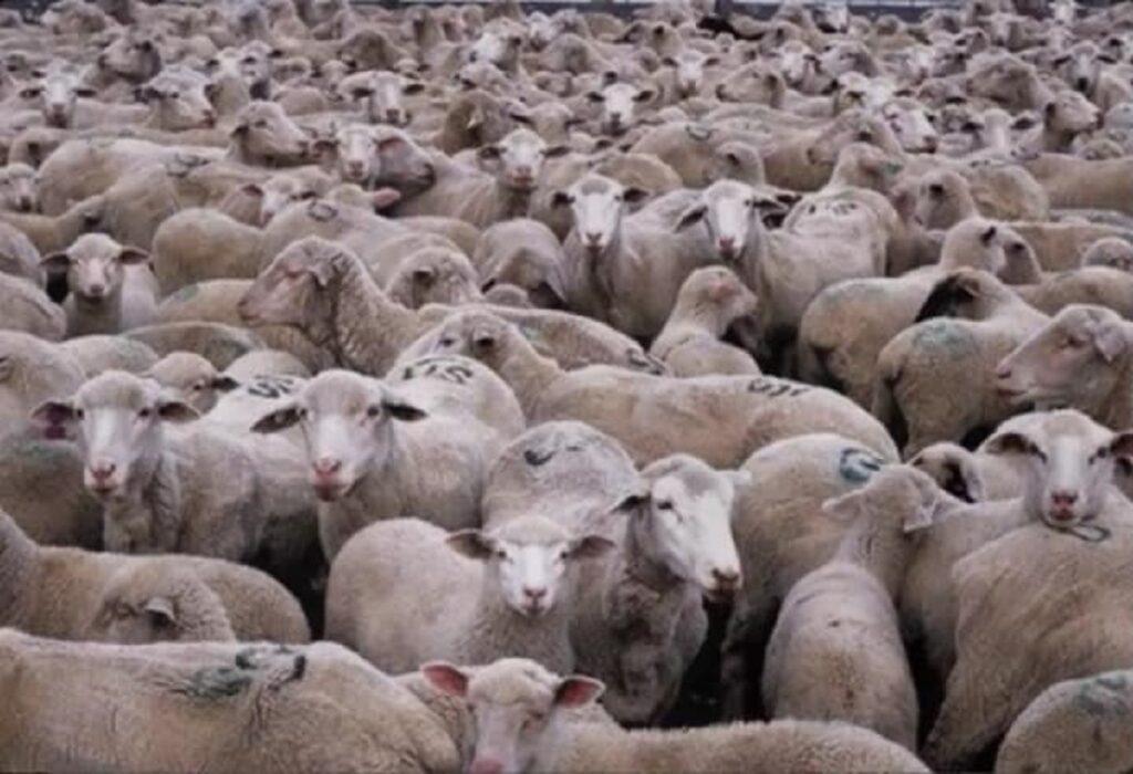 pecore micio immischiato