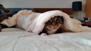 gatto letto coperta