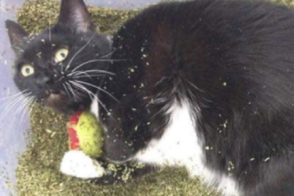 gatto nero bianco immerso catnip