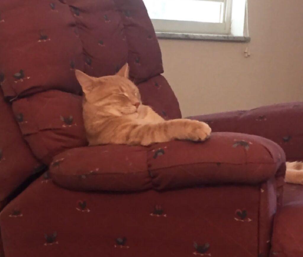 gatto rilassante poltrona rossa