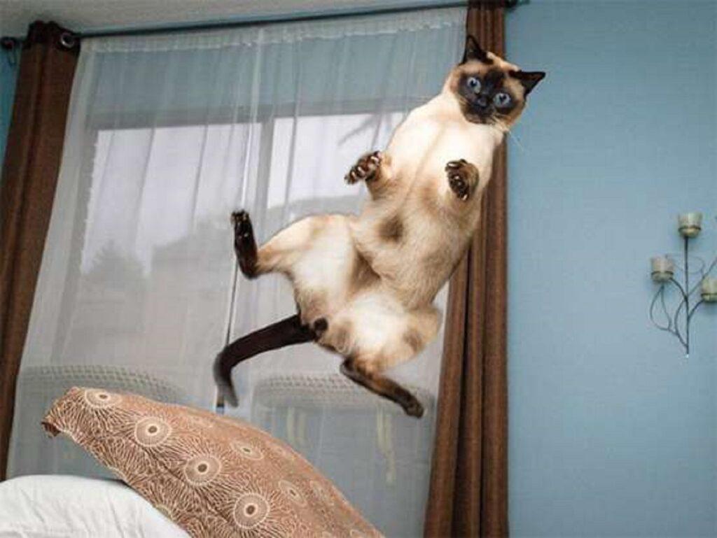 gatto siamese stupendo