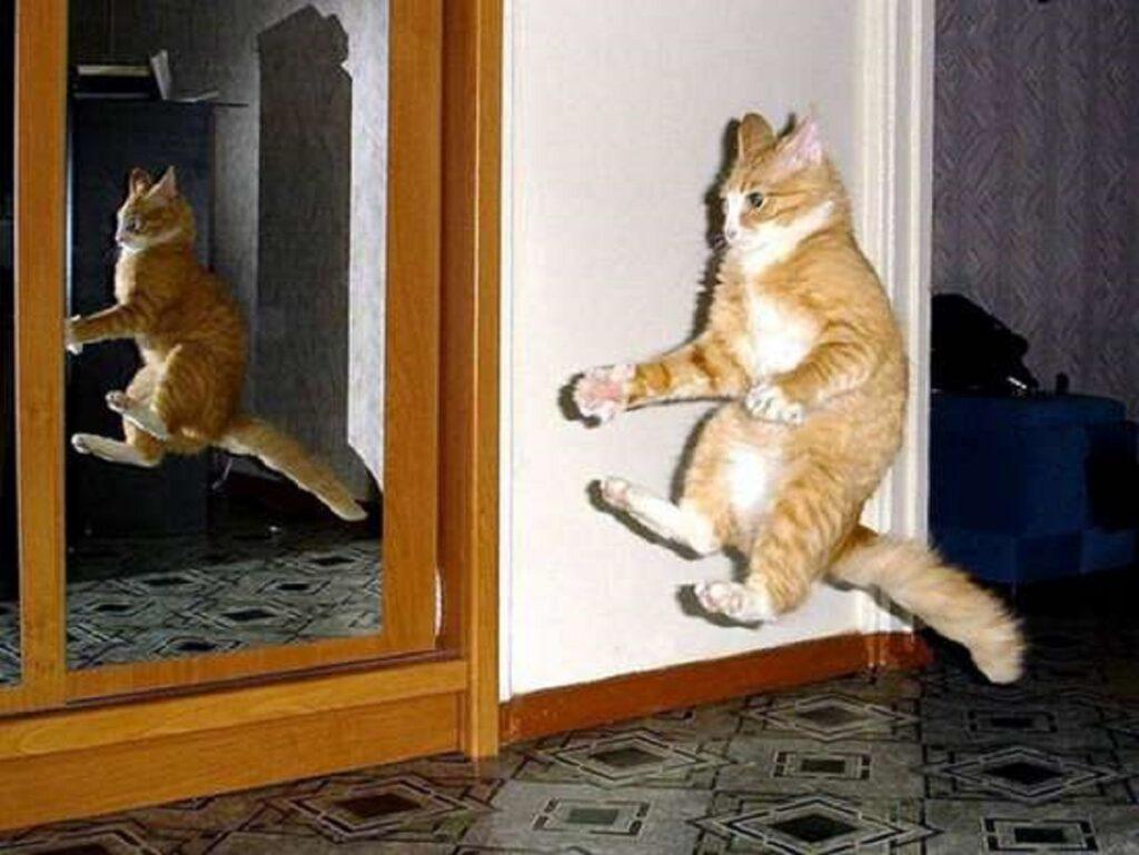 felino buffo saltare