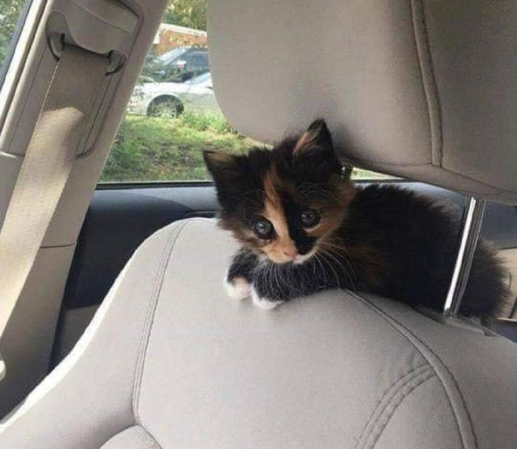 gatto in auto sopra sedile