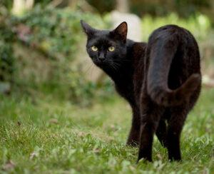 Gatto nero su un prato