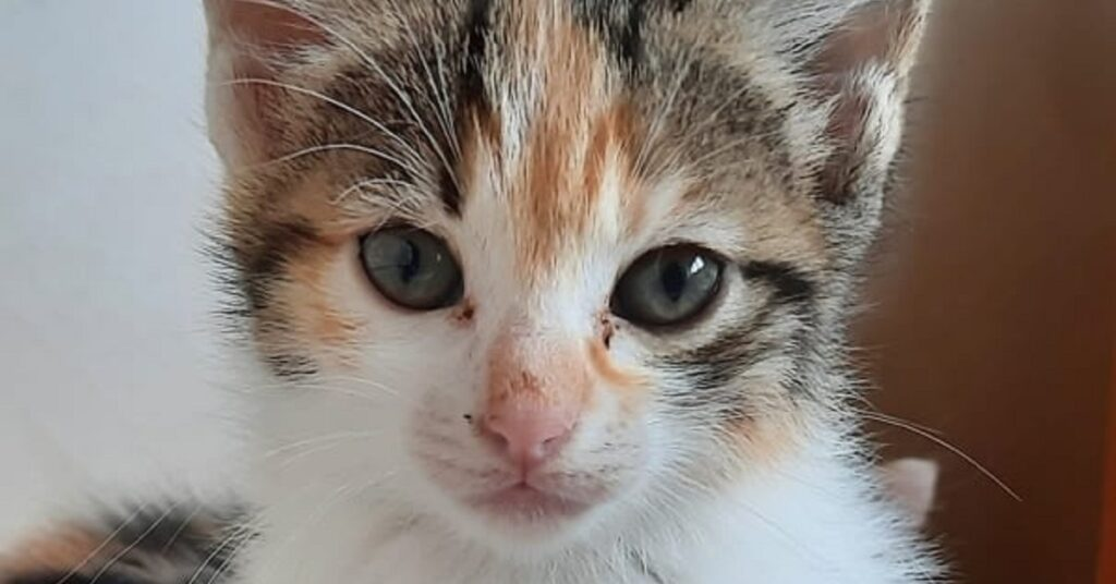tenero gattino cerca adozione