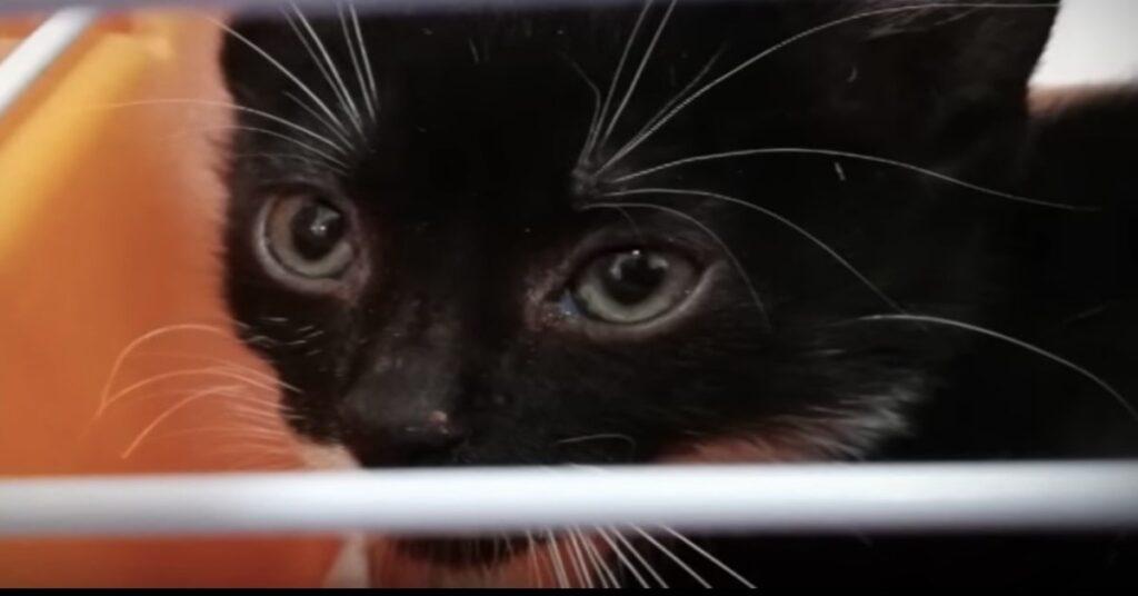 gatto nero primo piano
