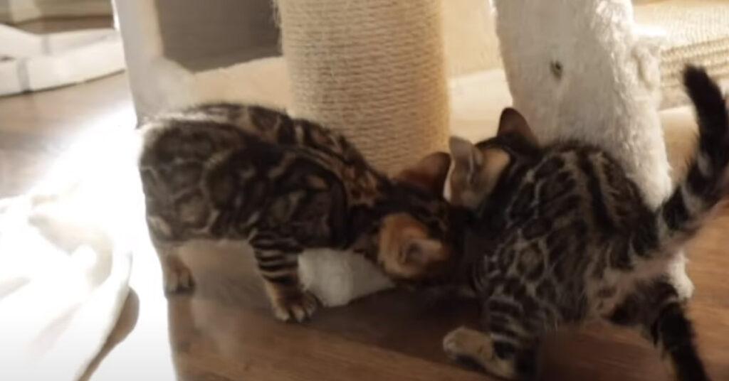 Gattini del Bengala giocano