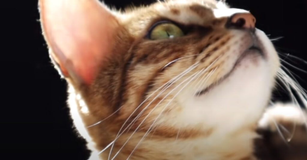 Gatto che osserva in alto
