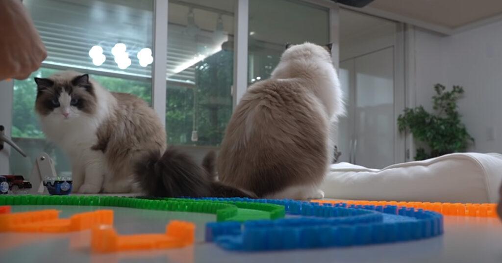 Gatti Ragdoll che giocano