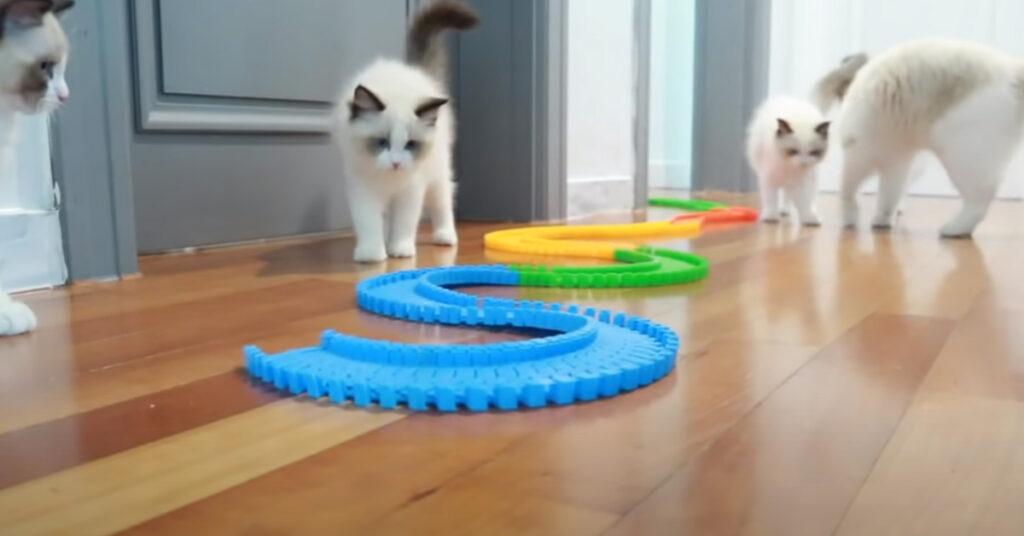 Gatti con una pista di macchinine