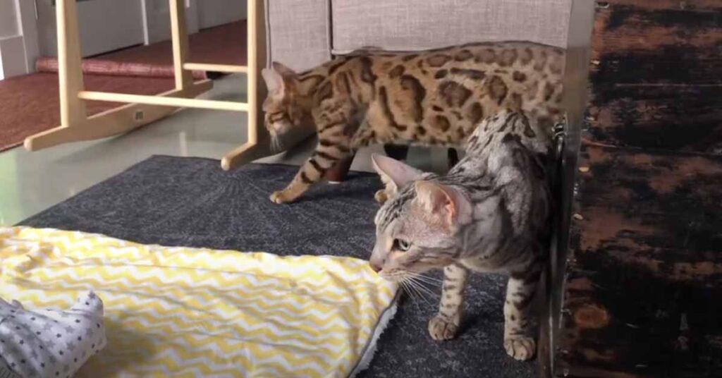 Gatti del Bengala che osservano