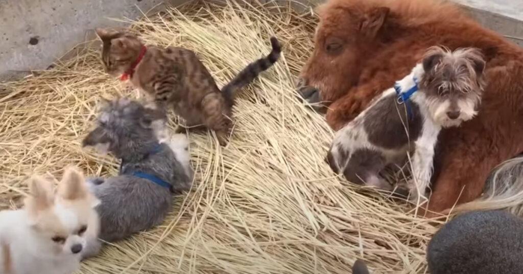 Gatto con animali della fattoria