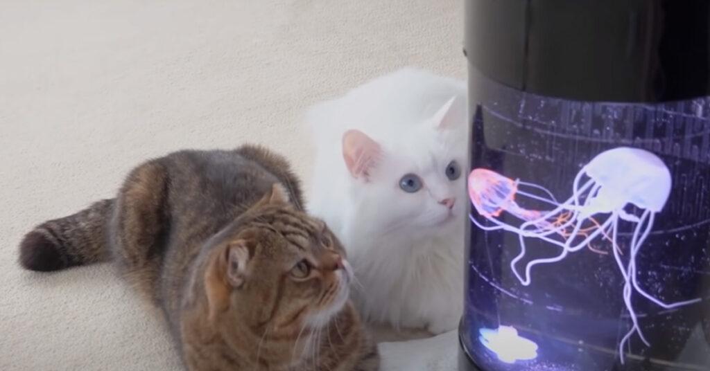Gatti che osservano una medusa