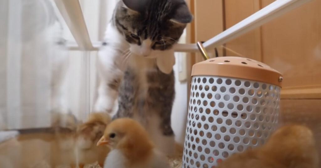 Gattino che vuole giocare con dei pulcini