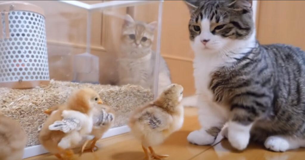Gattino che osserva pulcini