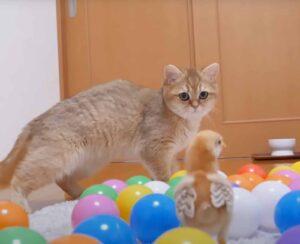Gatto che guarda un pulcino