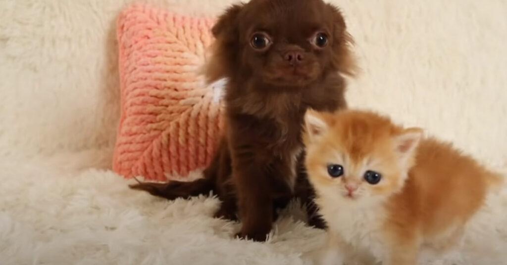 Gatto e Chihuahua