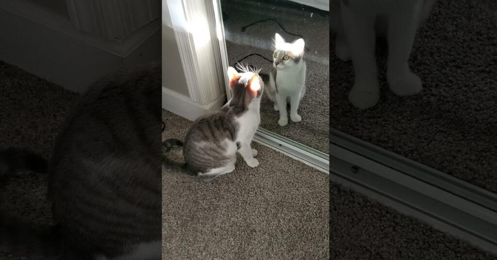 Gatto guarda se stesso allo specchio
