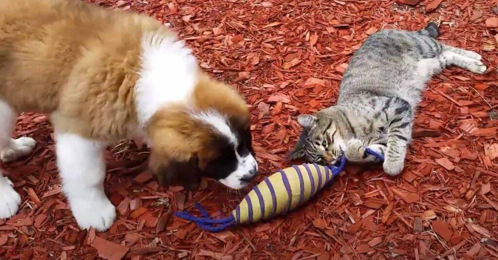 Gatto con un cucciolo di San Bernardo