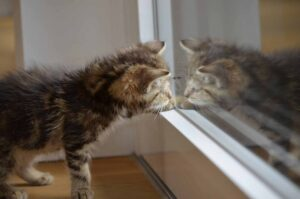 Gattino si guarda allo specchio