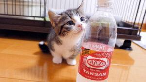 Gattino osserva una bottiglia