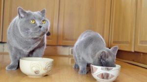 Gatto che mangiano