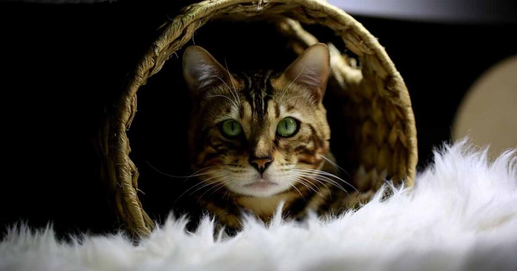Gatto dentro una cesta