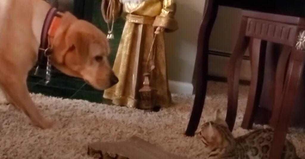Gatto del Bengala che guarda un cane