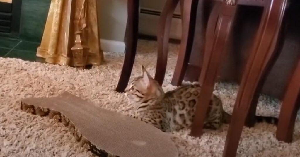 Gatto del Bengala che guarda