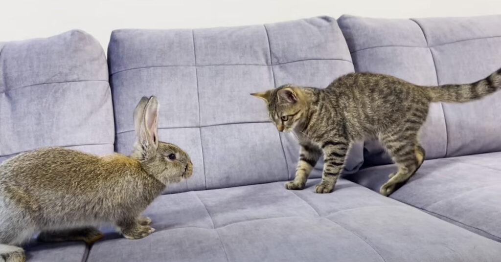 Gatto che gioca con un coniglio