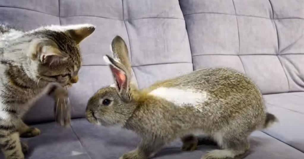 Gatto che incontra un coniglio