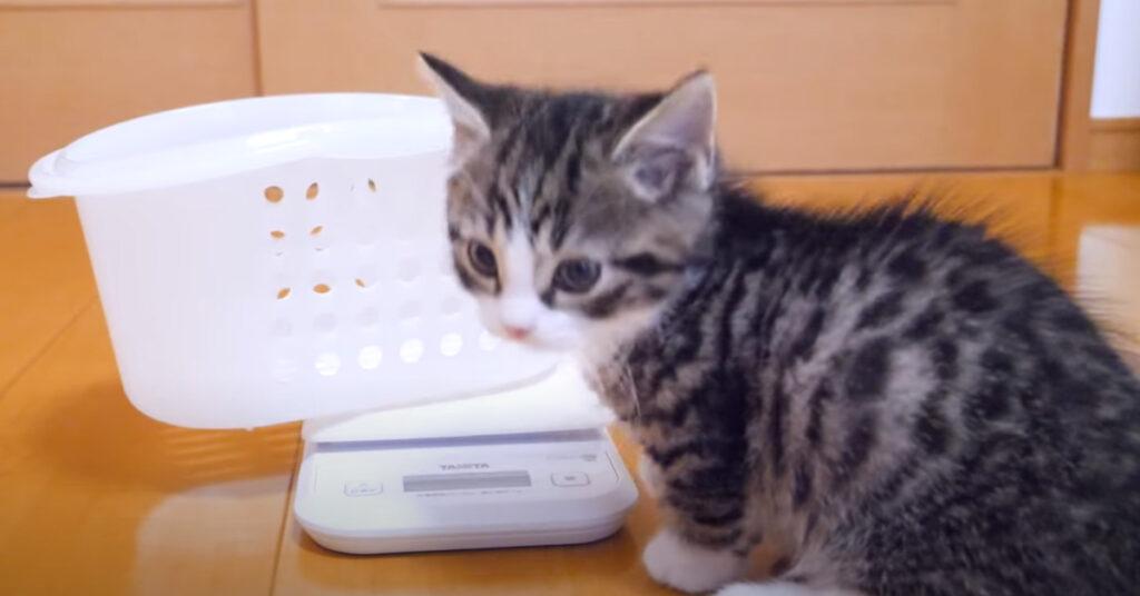Gattino che deve pesarsi