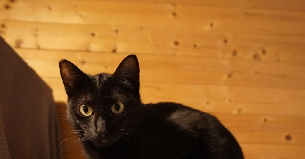 gattina osserva