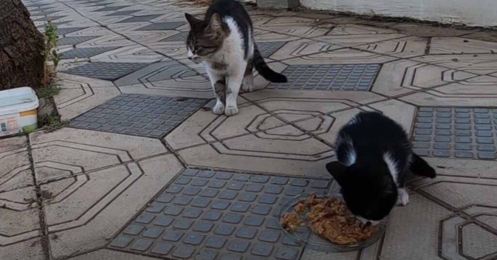 Gatti randagi che mangiano