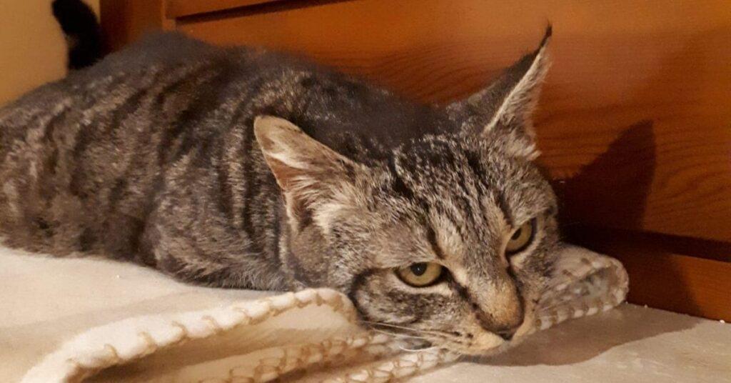 gattina sdraiata