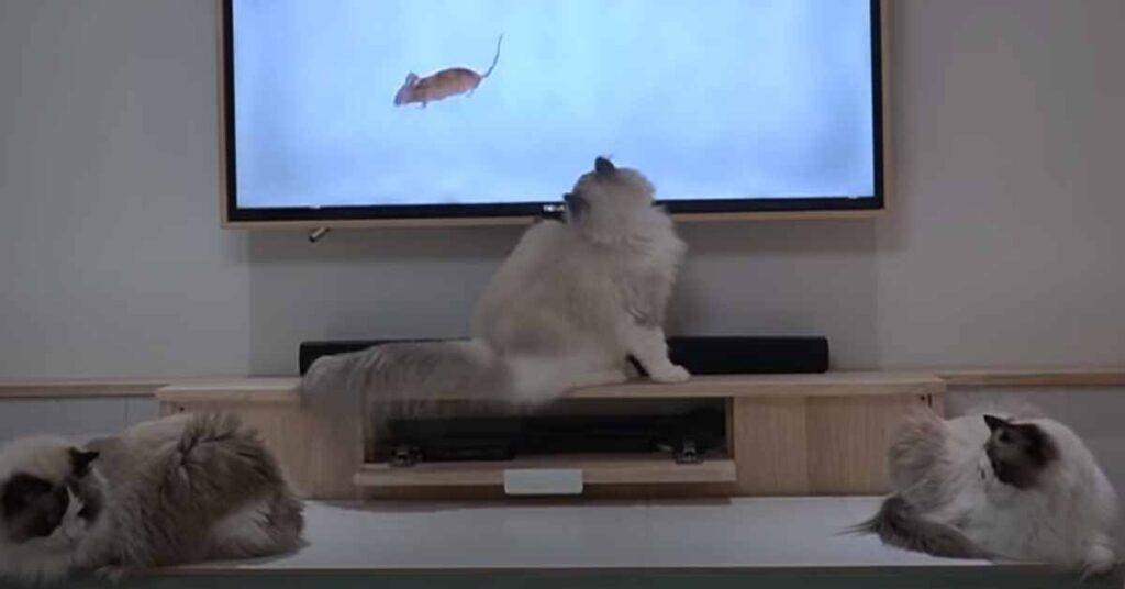 Gatti che giocano con la tv