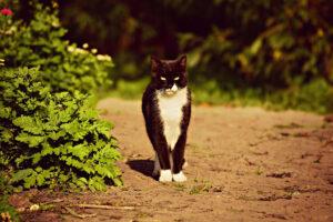 Gatto bianco e nero che guarda
