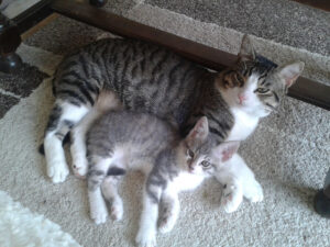 Gattino con gatto adulto