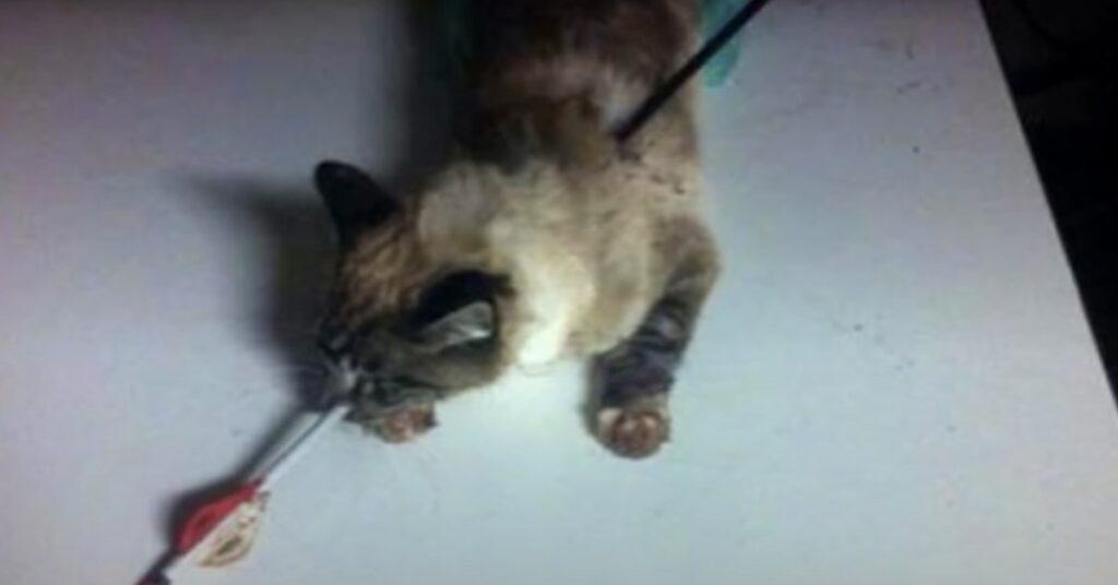 Gatto sopravvive a una freccia che lo trafigge