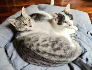 gatti sdraiati