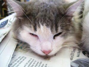 gattino binaco e grigio dorme