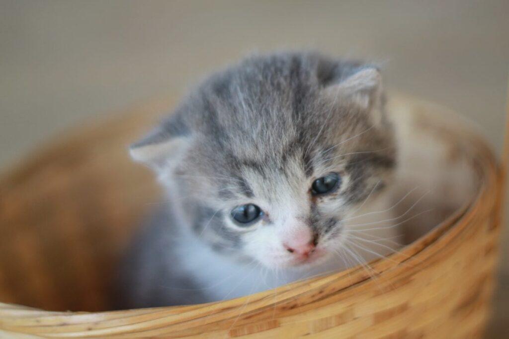 gattino nella cesta
