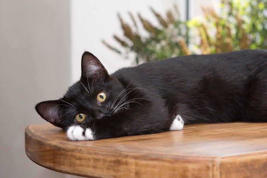 gatto tavolo legno