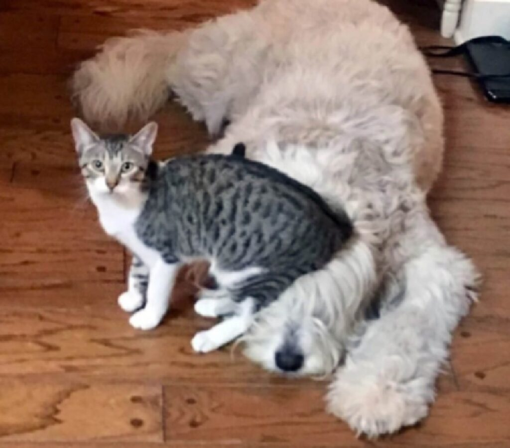 gatto siede su testa cane