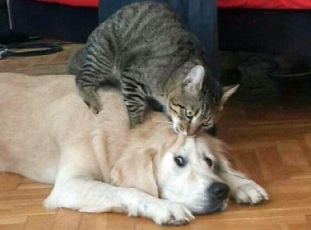 gatto morde fronte del cane