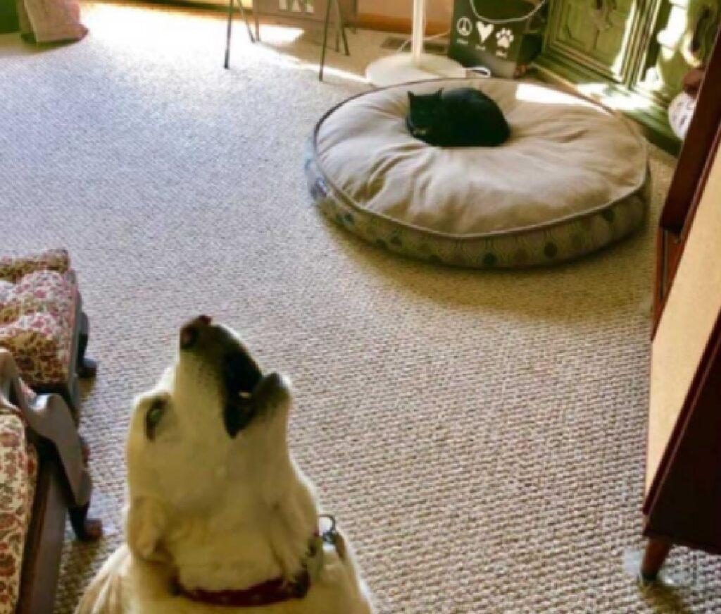 gatto ruba cuccia cane disperato