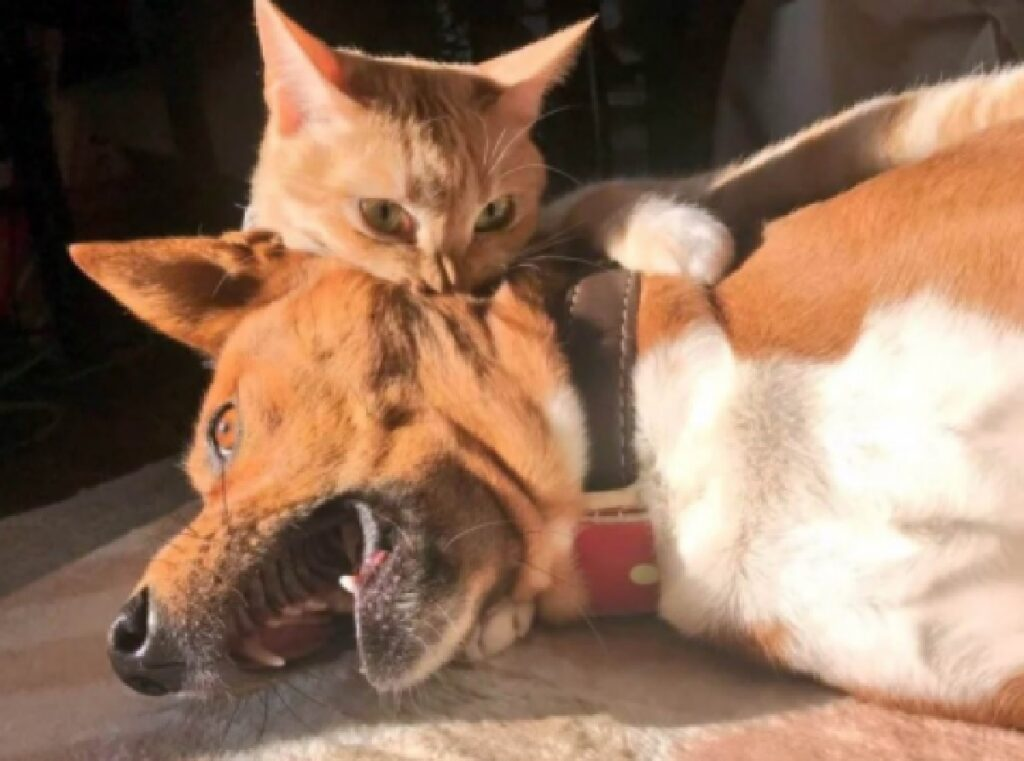 gatto diventa vampiro felino