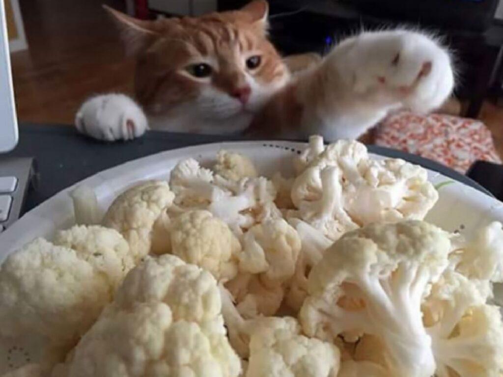 gatto vuole cavolfiori su tavolo