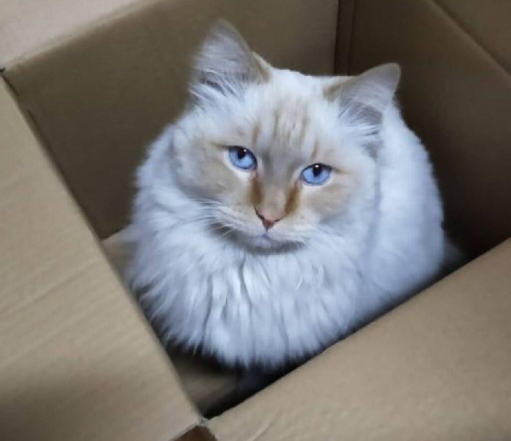 gatto felix pelo lungo macchia sfumata